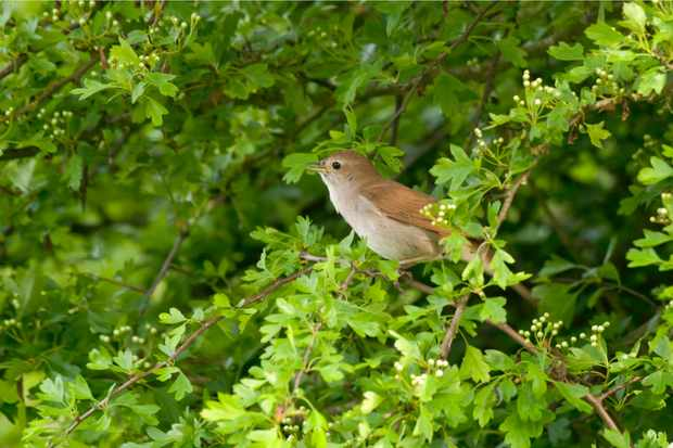 Nightingale singing from a hawthorn bush, Minsmere, Suffolk. © John Bridges/RSPB