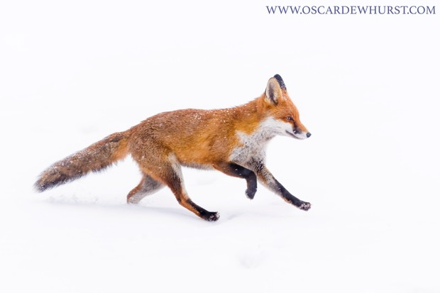"""""""Since starting photographing these foxes, I always hoped I might be able to get some images of them in snow. Fortunately, heavy snowfall coincided with a weekend, so I was able to get out and make the most of it. I love using snow to get completely white backgrounds like this."""" © Oscar Dewhurst"""