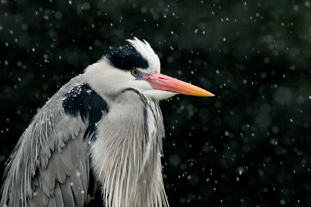 """""""This was taken on the first YWPUK trip. Six of us met in London and we visited various Royal Parks. It suddenly began to snow when we were in Regents Park and this grey heron sat very still, looking rather unimpressed with the weather."""" © Danielle Connor"""