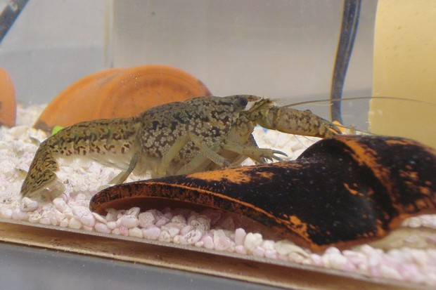 Marbled crayfish Procambarus fallax forma virginalis. © Zfaulkes/Wikimedia Commons