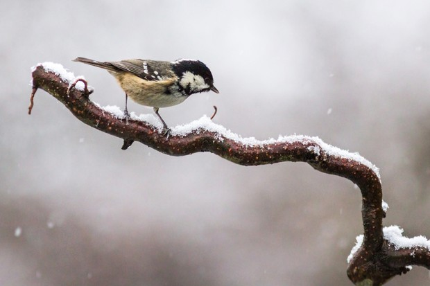 """Taken in my back garden during the first snow of that year. I didn't expect to see much due to the minus temperatures, but my wait was rewarded when this coal tit made a fleeting visit to the snow-covered branch."" © Rebecca Bunce"