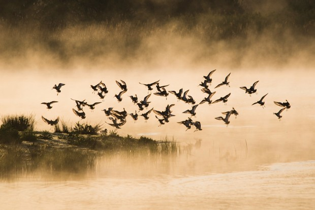 """""""I had an image in mind which I wanted to capture - mist rising off the water with the golden sunrise and some waders in flight. Following an early alarm and a cold, dark walk to the Topsham bird hide, these godwits arrived and I got the shot I wanted!"""" © Olly Johnson"""