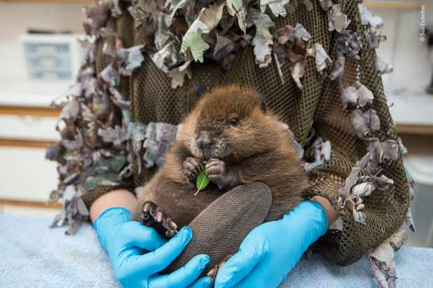 The orphaned beaver. © Suzi Eszterhas/Wildlife Photographer of the Year