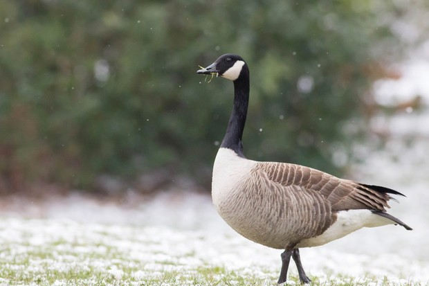 """""""In March this year, armed with my camera, I went for a walk around my local park. Towards the end, a brief flurry of snow created a very wintry scene. I captured this Canada goose as it crossed the path in front of me."""" © Mya Bambrick"""