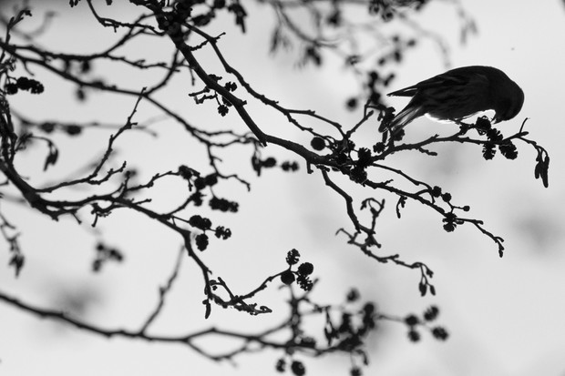 """During the winter, large numbers of siskins and redpolls will band together and fly between trees to feast on seeds. I followed this flock for a while, and particularly liked the silhouette of this individual siskin feeding from an aspen cone."" © Freya Coursey"