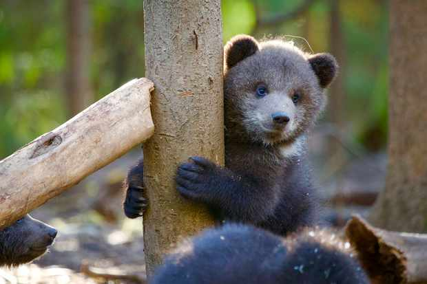 12-week-old cub Zhenya hones his climbing skills. © Anwar Mamon