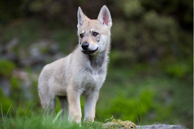 One of the wolf cubs. © Boréales/Cyril Ruoso