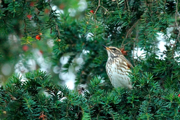 """""""I was walking home from school in December when I spotted 50+ redwings feeding on berries near my house. It was already getting quite dark. I rushed home, grabbed my camera and photographed the various wintering passerines feeding before dusk."""" © Danielle Connor"""