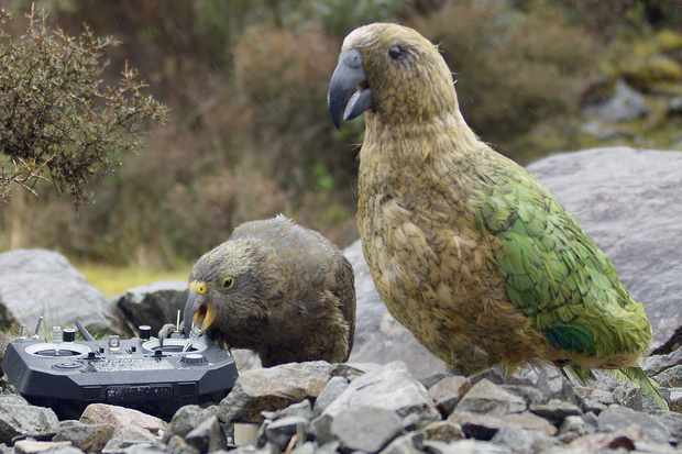 Kea biting controller with Spy Kea in foreground, New Zealand. © BBC/John Downer Productions/Matthew Goodman