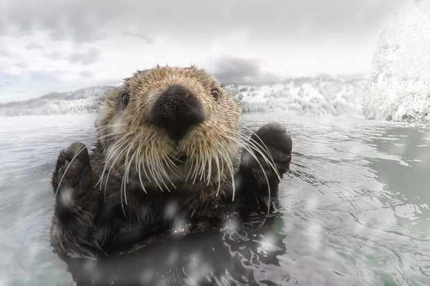 A sea otter investigates Spy Otter, Alaska. © BBC/John Downer Productions/Frederique Olivier