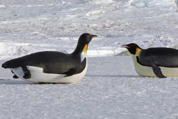 Spy Tobogganing penguin with emperor penguin, Antarctica. © BBC/John Downer Productions/Frederique Olivier