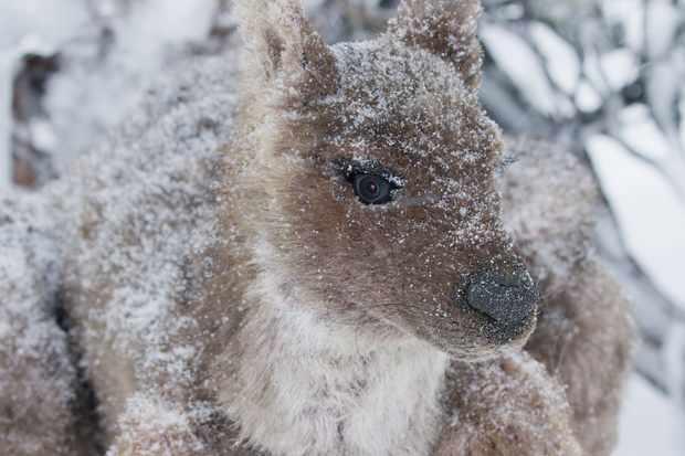 Spy Wallaby in the snow, Tasmania, Australia. © BBC/John Downer Productions/Frederique Olivier