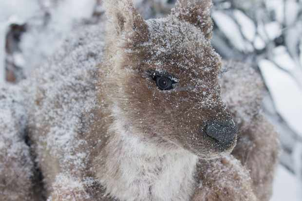 Spy Wallaby in the snow, Tasmania, Australia. © BBC/John Downer Productions/Frederique Olivier