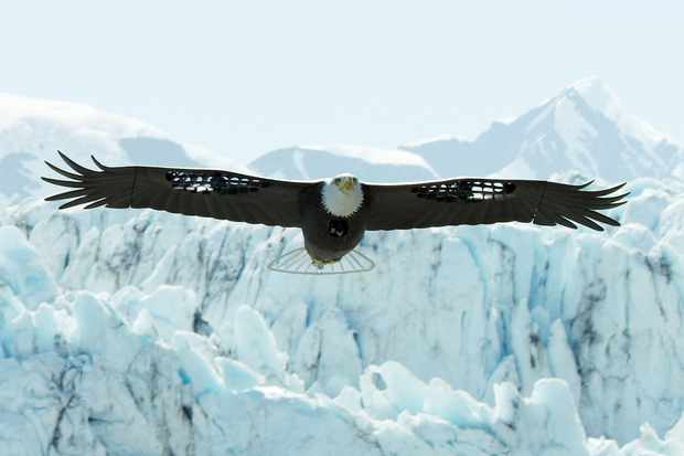 Spy Eagle in the air, Alaska, USA. © BBC/John Downer Productions/Matthew Goodman
