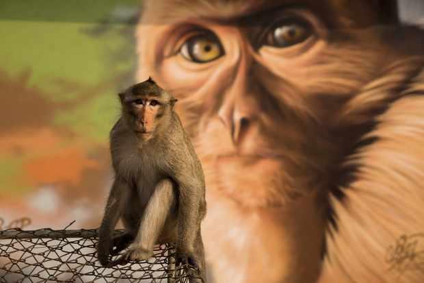 Long tailed macaque against Grafitti in Lopburi City, Thailand. © BBC/Stuart Dunn