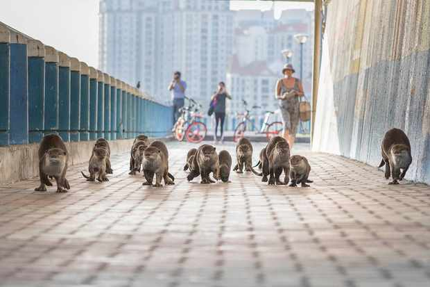Otter family travelling through an underpass in Singapore. © BBC/Bernard Seah