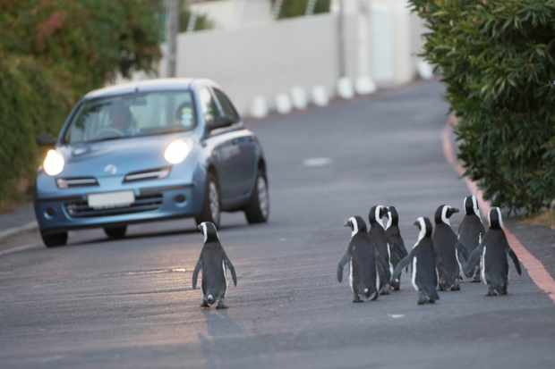 A waddle of African penguins take their lives in their hands during rush hour in Cape Town, South Africa. © BBC/Alex Lanchester
