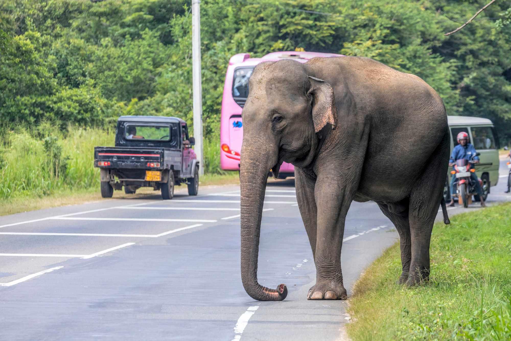 A wild elephant negotiates a busy highway, Sri Lanka. © BBC/Joana Kruse