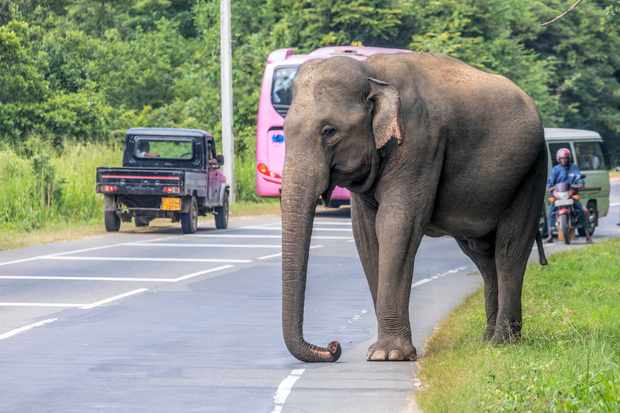 A wild elephant negotiates a busy highway, Sri Lanka. © BBC/Joana Kruse