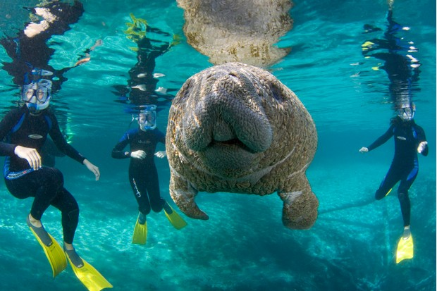 Manatee in crystal clear waters surrounded by snorkellers, Florida. © BBC/David Schrichte