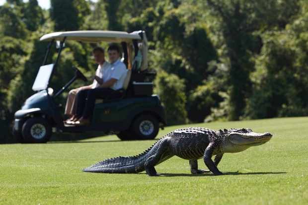 An alligator and golfer share the fairway on Kiawah Island, South Carolina, USA. © BBC/Mark Wheeler