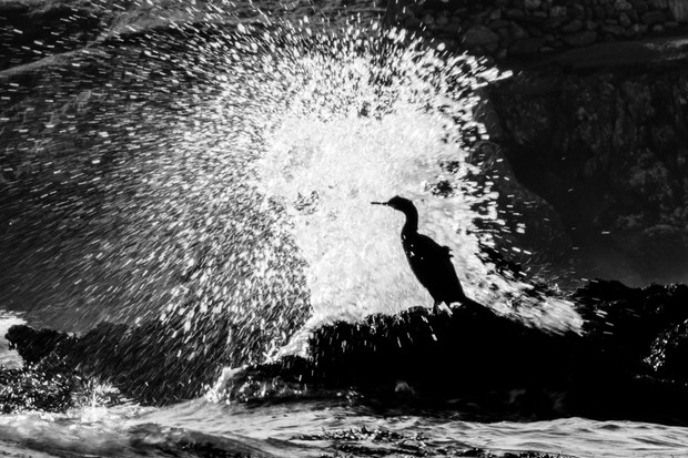 """""""This shag had decided to rest atop a seaweed-covered rock for the afternoon, but the incoming tide and lumpy easterly swell slowly encroached upon its perch and allowed for some atmospheric images as the waves crashed at its feet."""" © Ben Porter"""