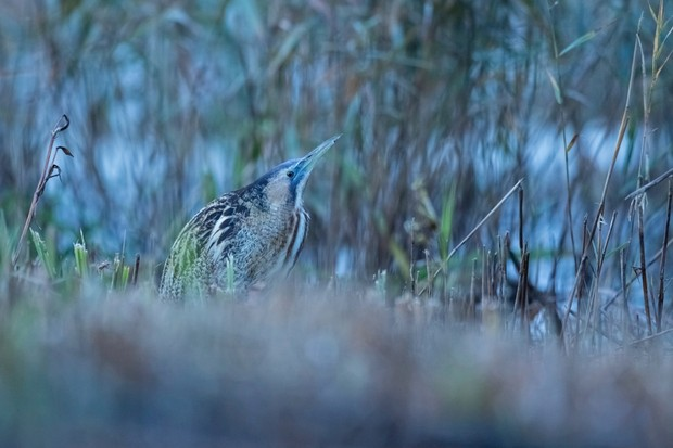 """""""The 'blue hour' is the period of twilight in the morning before sunrise where photos taken in this time result in a predominantly blue shade. An early winter morning in the Suffolk fens allowed me to get this shot of a Eurasian bittern with a cold blue wintery feel."""" © Henry Page"""