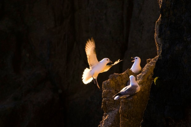 """""""Since discovering our local colony of fulmars I've been fascinated with them, spending hundreds of hours out on the cliffs around Land's End in all conditions capturing them. I took this shot in April as the sun was setting, illuminating the birds while the background cliff remained in shadow."""" © Josef FitzGerald-Patrick"""