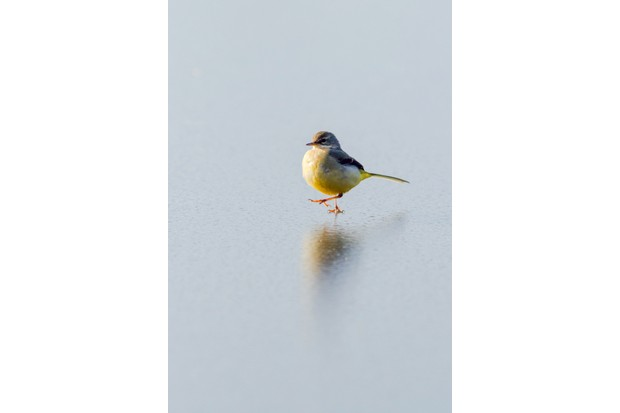 """""""During the cold snap last winter, many ponds and lochs froze over. This wagtail was trying to make the most of it by picking insects off the surface of this frozen loch near Glasgow."""" © Freya Coursey"""