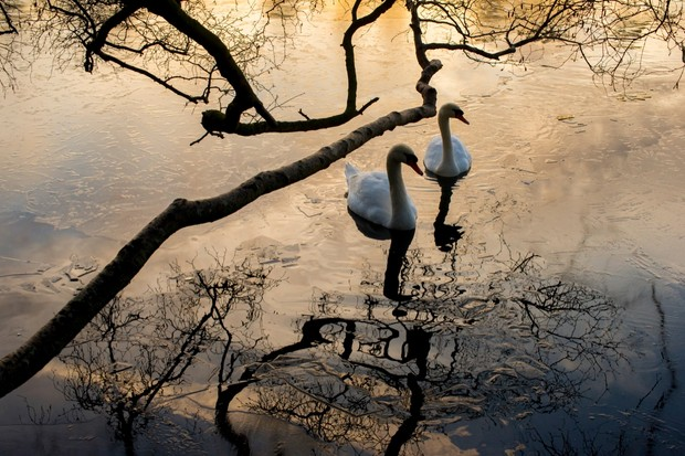 """""""I headed out to the local lake one morning which had frozen over with a thin layer of ice. I found this composition, with the morning light reflecting off the surface, and waited until a subject moved in; thankfully it didn't take long for these two swans to complete the shot!"""" © Toby Pickard"""