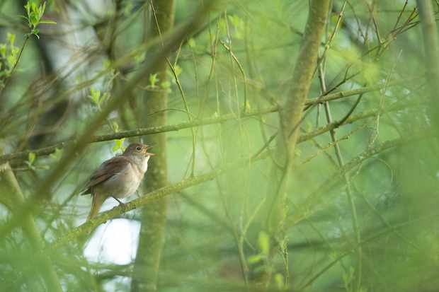 Adult male nightingale singing in woodland scrub. © Ben Andrew/RSPB