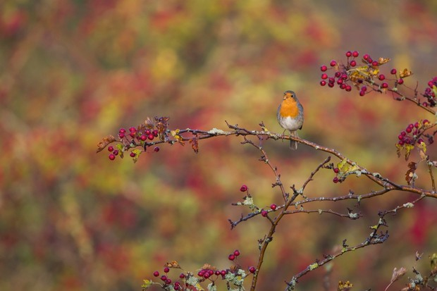 """With food sources for birds becoming harder to come by in autumn and winter, I worked on a project of repeatedly visiting a large clump of berry bushes local to my university - when this robin perched obligingly in front of me, the shot was irresistible!"" © Matt Livesey"