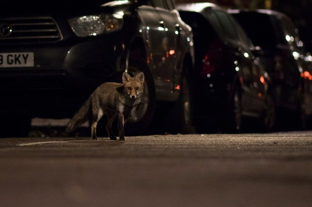 """""""As day turns to night the busy London streets quickly become the foxes' playground. I caught a glimpse of this fox before lying flat on the road, waiting for its inquisitive approach."""" © Olly Johnson"""