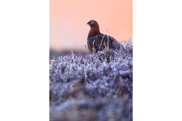 """A red grouse wearing a jacket of frost. These birds are abundant in the landscapes of Scotland, but still such special little characters. Photographed at sunrise in the Scottish Cairngorms, late winter 2015."""" © Eleanor Hilsdon"""