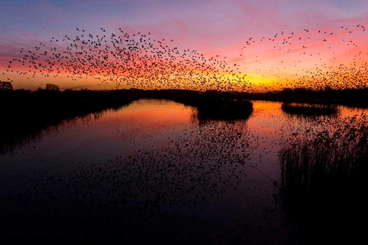 """""""Living in Somerset it is hard to avoid the large number of starlings that descend on the county each year. When this was taken the roost was still rather small, this meant I could predict their location and get the image I was after."""" © Max Thompson"""