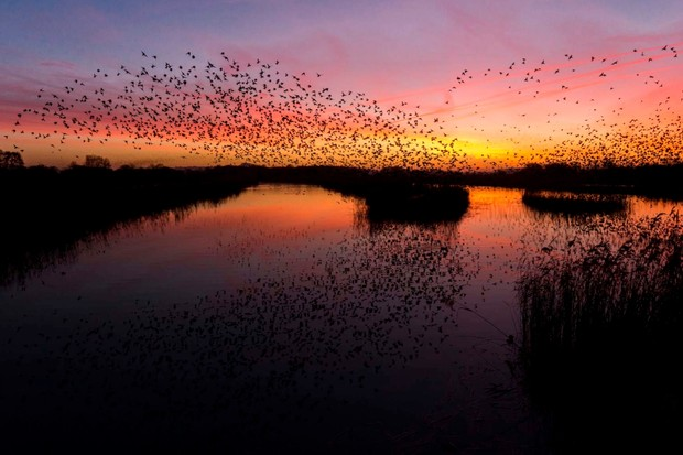 """Living in Somerset it is hard to avoid the large number of starlings that descend on the county each year. When this was taken the roost was still rather small, this meant I could predict their location and get the image I was after."" © Max Thompson"