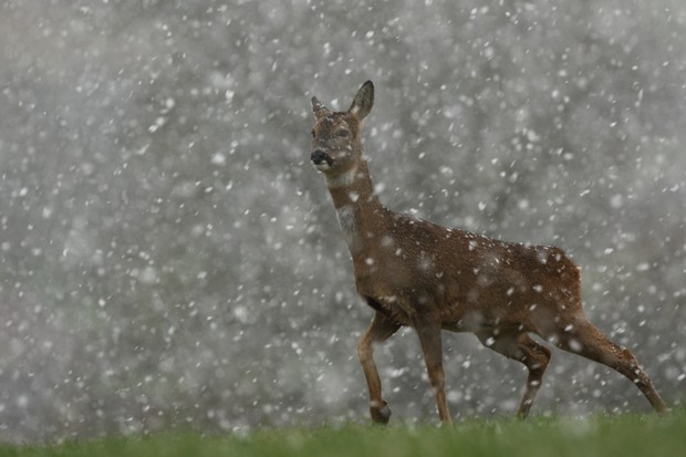 """I have been following the roe deer in my area for 8 years. On this occasion, it was snowing heavily for 10 minutes - I was able to get into position where the deer would be sheltering and photograph this one against a dark background as it got up to investigate."" © Joshua Harris"