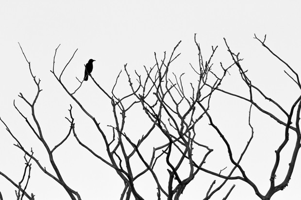 """At my parents' home there's a dead elm tree that the carrion crows like to perch on. On an overcast day, the starkness of the limbs against the sky was pleasing to the eye, and the perching crow added interest to the scene."" © Freya Coursey"
