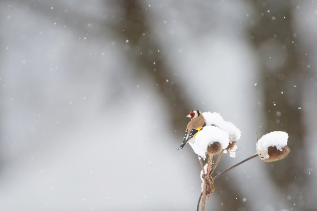 """""""With the first snow I can remember in Hertfordshire for some years, I headed out to my local wood in the hope of capturing some birds in the snow. A colourful flock of goldfinches flitting about the dead thistle heads made a particularly pleasing contrast with the white all around."""" © Matt Livesey"""