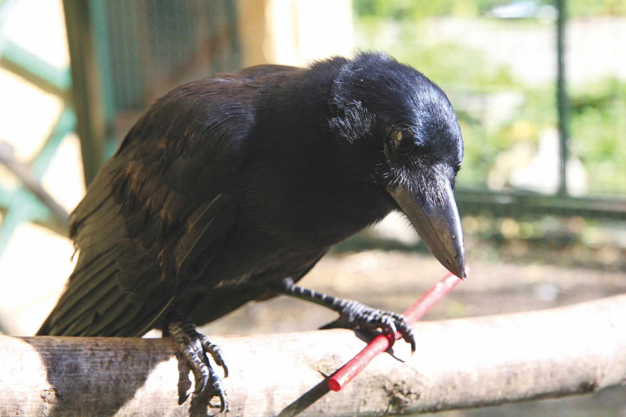 A New Caledonian crow with a stick tool. © Auguste von Bayern
