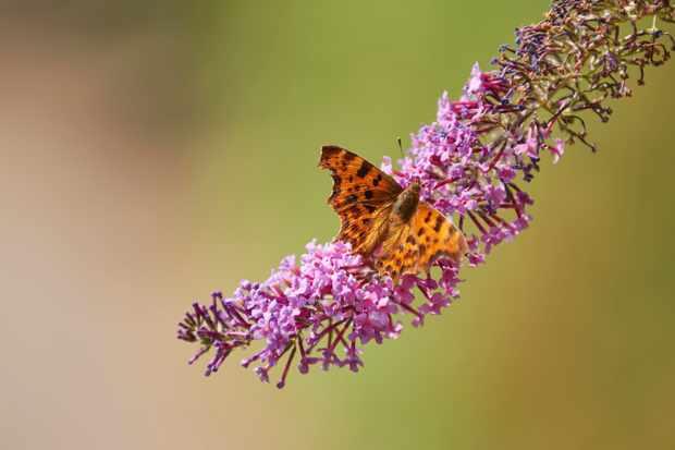 Comma butterfly. © Trevor Hart/National Trust