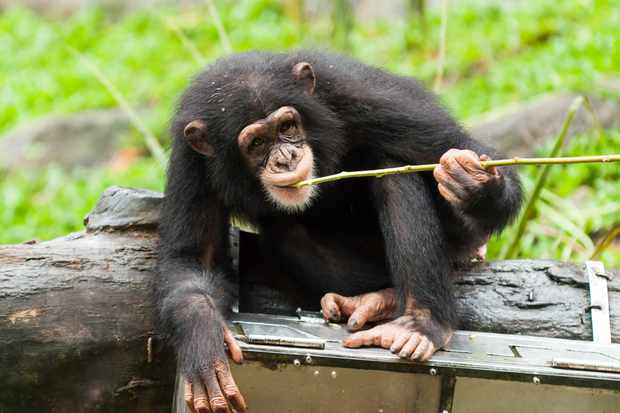 A captive chimpanzee uses tools to get fruit from a box. © Vincent St Thomas/Getty