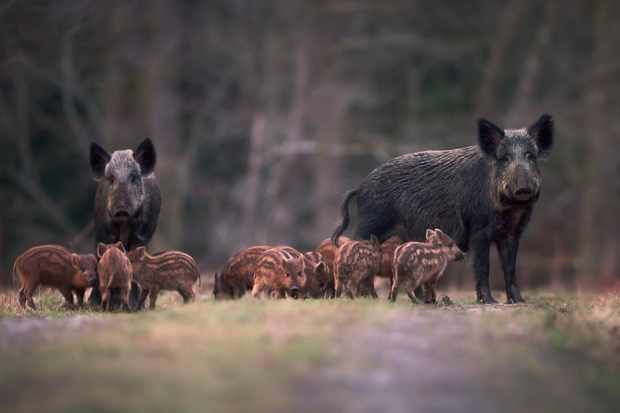Wild boar are being prevented from entering some European countries as they can carry a disease fatal to farmed pigs. © Kristian Bell/Getty