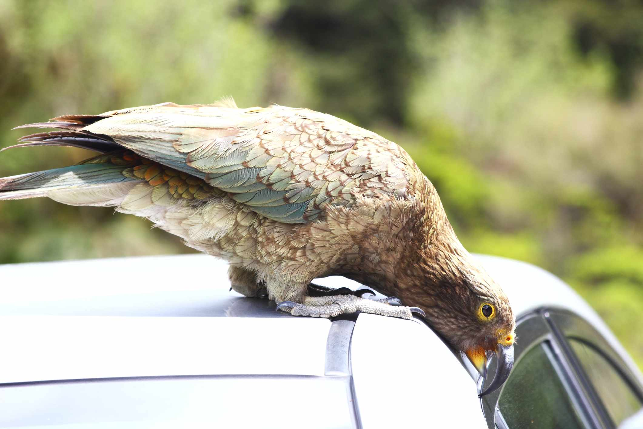 Kea parrot investigating a car. © J Knaupe/Getty