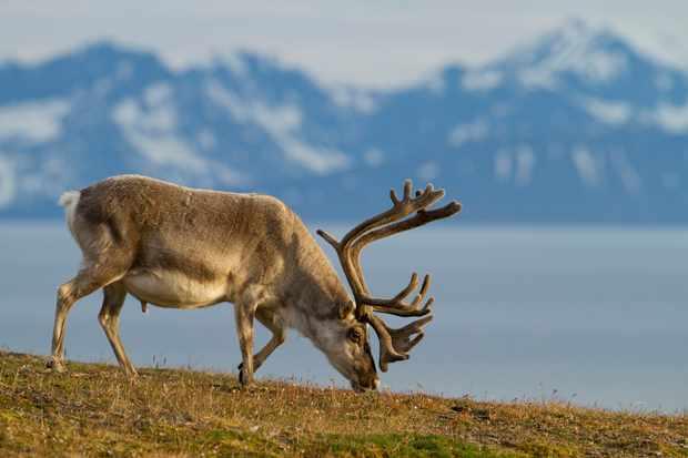 Svalbard reindeer grazing with mountains behind. © Valentin Heimer/Getty