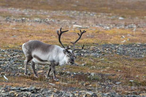 The Svalbard reindeer is the smallest subspecies of reindeer and is endemic to Svalbard. © hopsalka/Getty