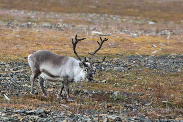 The Svalbard reindeer is the smallest subspecies of reindeer and is endemic to Svalbard. © hopsalka/Getty