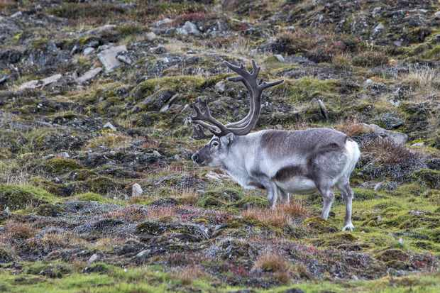 Svalbard reindeer in the Svalbard tundra. © hopsalka/Getty