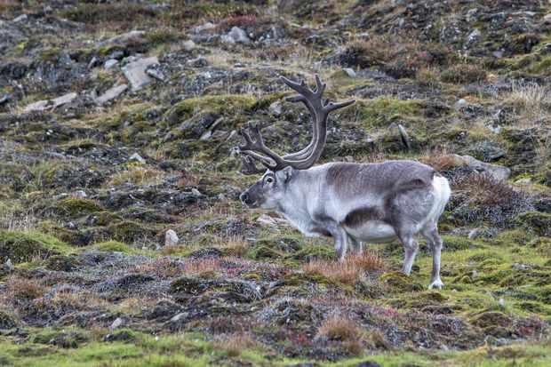 Svalbard reindeer in the Svalbard tundra. © hopsalka/Getty