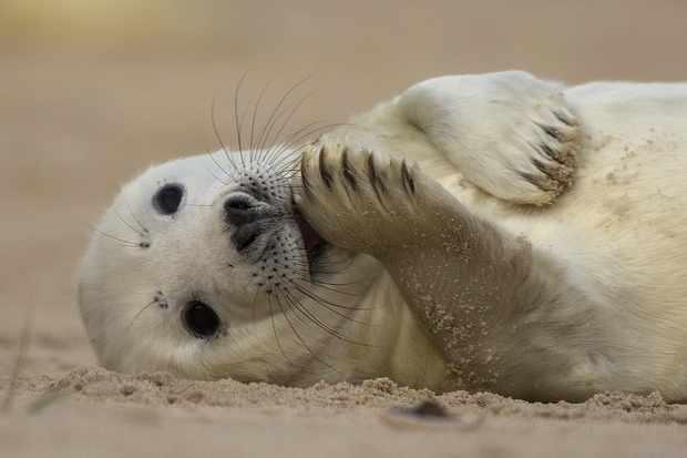 Grey seal pup on the beach at Blakeney in Norfolk. © Ian Ward/National Trust